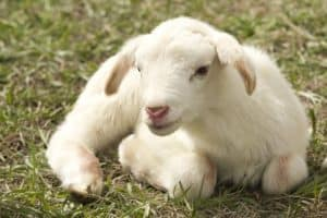 9 Shocking Reasons Why God Compares Us to Sheep.